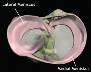 Anatomy Meniscus